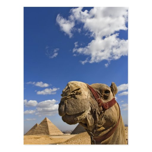 Camel in front of the pyramids of Giza, Egypt, Postcard