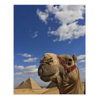 Camel in front of the pyramids of Giza, Egypt, Poster