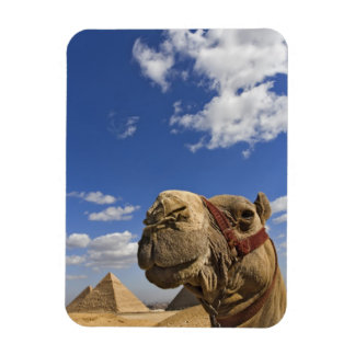 Camel in front of the pyramids of Giza, Egypt, Rectangular Photo Magnet