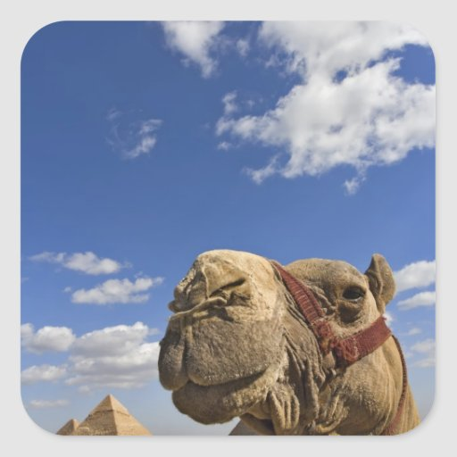 Camel in front of the pyramids of Giza, Egypt, Sticker