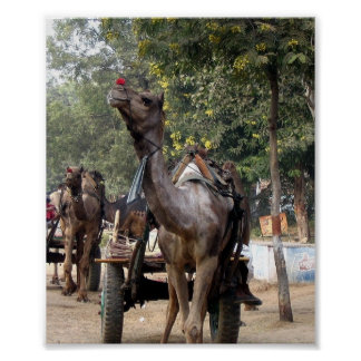 Camel in India on the road Poster