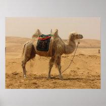 Camel in the desert poster