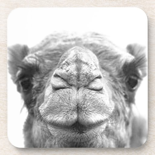 Camel Kisses Fun Closeup Photo Coaster