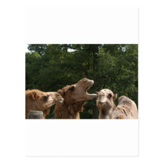 camel laugh postcard