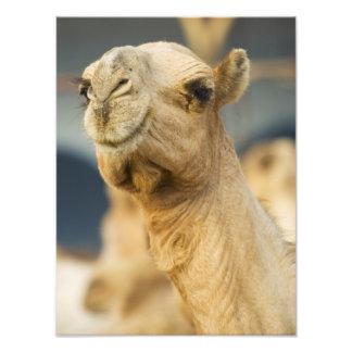 Camel Market near Cairo, Egypt Photo Print