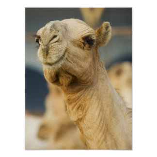 Camel Market near Cairo, Egypt Poster