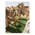 Camel Market Postcard