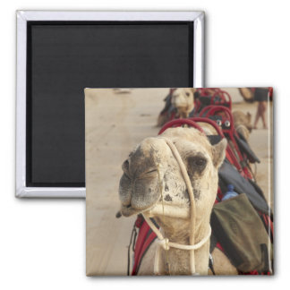 Camel on Cable Beach, Broome Fridge Magnets