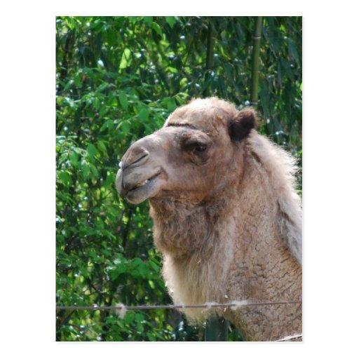 Camel Photo Design Postcard
