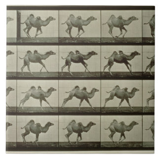 Camel, plate from 'Animal Locomotion', 1887 (b/w p Ceramic Tile