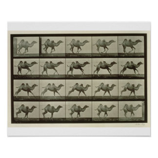 Camel, plate from 'Animal Locomotion', 1887 (b/w p Poster