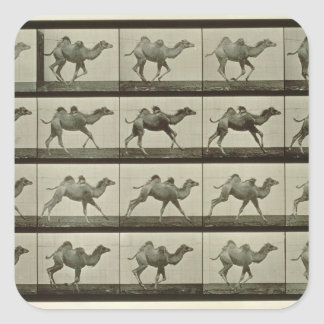 Camel, plate from 'Animal Locomotion', 1887 (b/w p Square Sticker