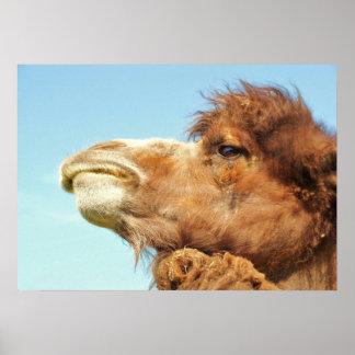 Camel Portrait - Poster