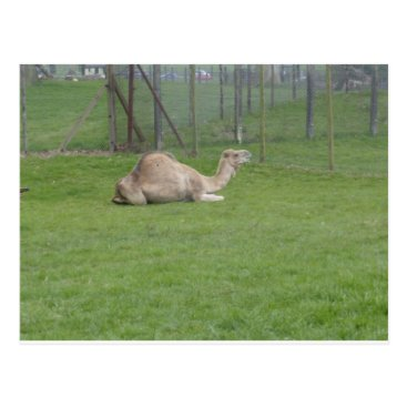 Beach Themed Camel Postcard