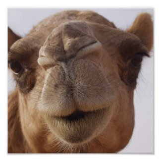 Camel Poster Print