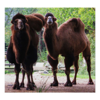 Camel Posters, Camel Art