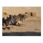 Camel Sitting Postcard