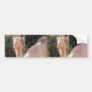 Camel staring while chewing bumper sticker