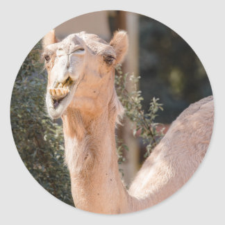 Camel staring while chewing classic round sticker