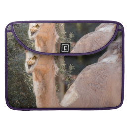 Camel staring while chewing MacBook pro sleeve