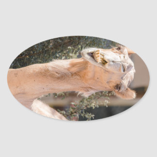 Camel staring while chewing oval sticker