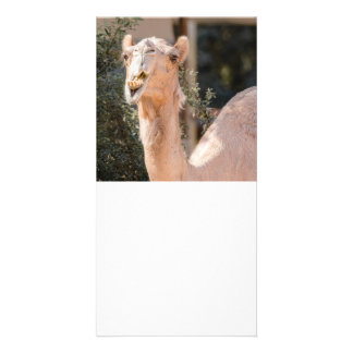 Camel staring while chewing customised photo card