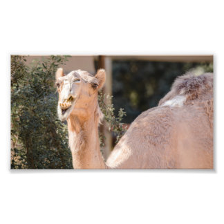 Camel staring while chewing photo print