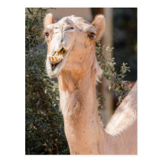 Camel staring while chewing postcard