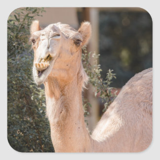 Camel staring while chewing square sticker