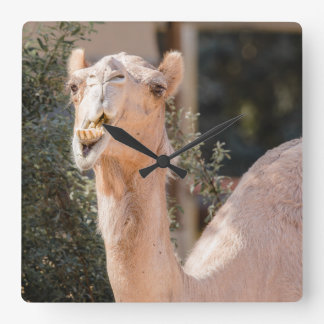 Camel staring while chewing square wall clock