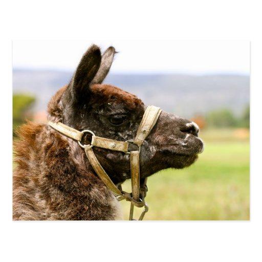 Camel Tarjeta Postal