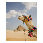 Camel with Pyramids Giza, Egypt Poster