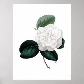 Camelia, flor blanca, impresión botánica póster