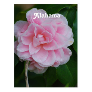 Camelia Flowers Post Card