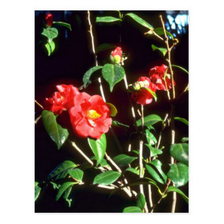 Camelia Japonica A. Audusson (Common Camellia) Pin Postcard
