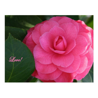 Camelia, Pink, with love! Postcard