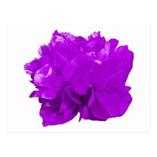 Camelia Pop Purple Postcard