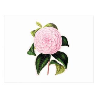 Camelia rosada tarjeta postal