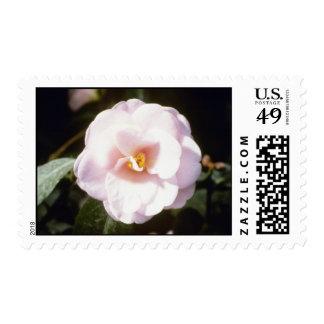 """Camelia rosado Japonica """"Fleur De Pecher"""" (japonés Envio"""