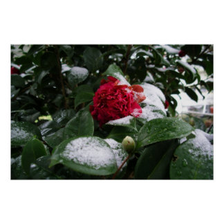 Camelias in the Snow Poster