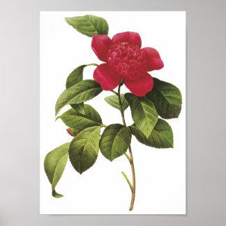 Camellia Anemonefolia Poster