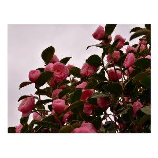 Camellia Flowers Postcard