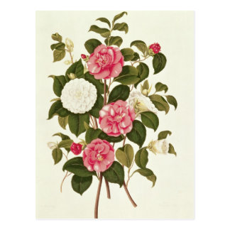 """Camellia  from """"A Monograph on the Genus' Postcard"""