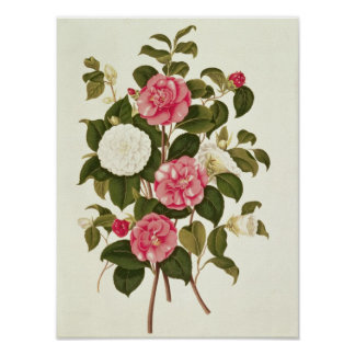 """Camellia  from """"A Monograph on the Genus' Poster"""