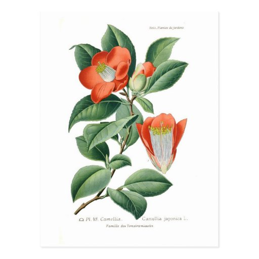 Camellia japonica post cards