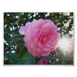 Camellia Japonica Poster