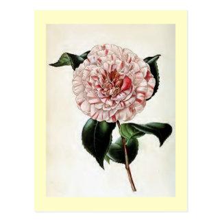 """""""Camellia Japonica"""" Vintage Illustration Postcard"""