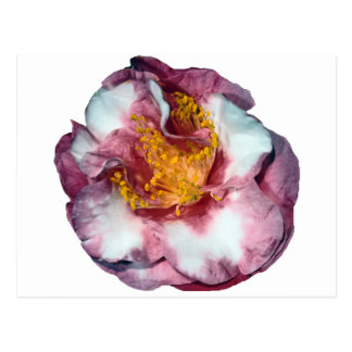 Camellia Pink Gift Postcard