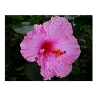 camellia postcards