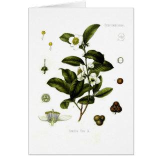 Camellia sinensis (tea) card